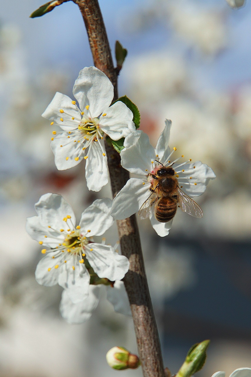 bee, flowers, apple blossoms